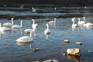 荒川の白鳥